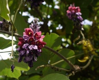 葛の花.jpg